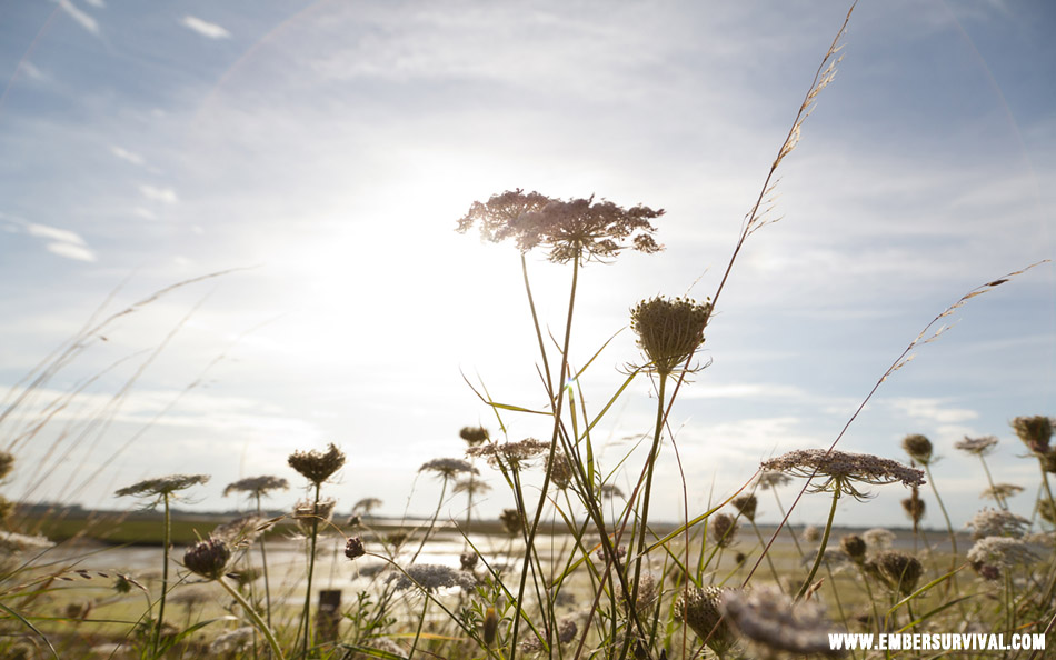 wild carrot sunshine
