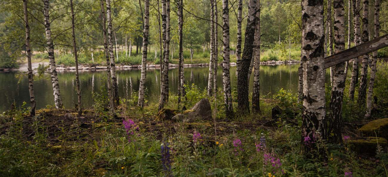 Birch trees in Sweden