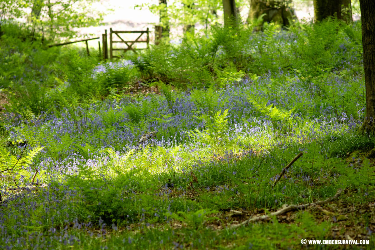 British woodland in spring